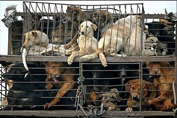 Thailand: Saving Dogs from Becoming Dinner