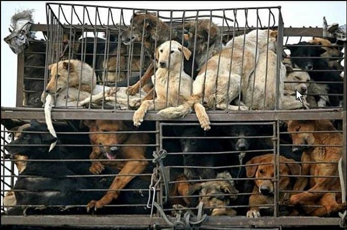Caged dogs in Thailand who would become dinner, which the Soi Dog Foundation is working hard to prevent.