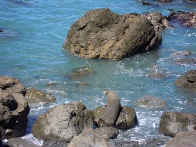 Fur seal at Cape Palliser