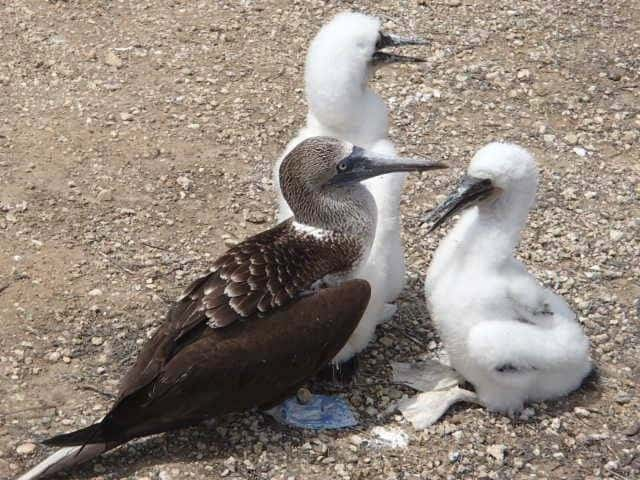 A family of boobys on Isla de la Plata, Ecuador. Aileen Friedman photos.