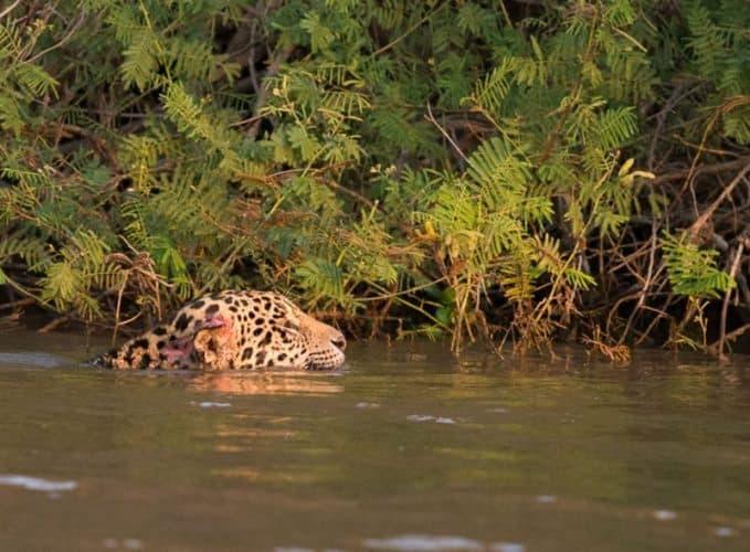 Jaguars in the Pantanal