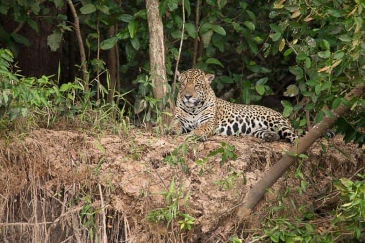 Jaguar in the Pantanal. Lauren Hefferon Photos