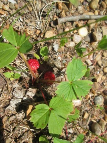 Hundreds of wild strawberries dot either side of the Trail. Theyre absolutely delicious but beware theyre guarded by mosquitos