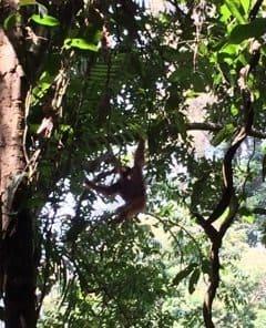 Orangutan acrobatics.