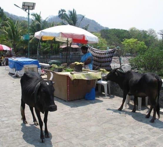 Sacred cows on Elephanta island, Mumbai India.