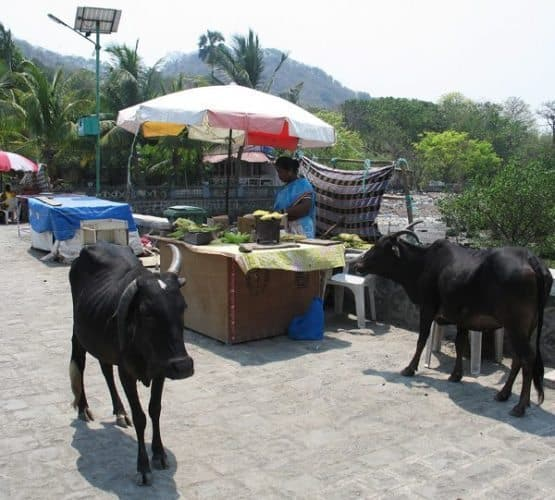 Sacred cows on Elephanta island, Mumbai India.