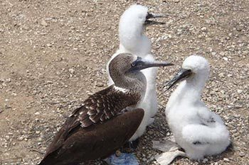 Ecuador: Boobys and More on Isla de la Plata