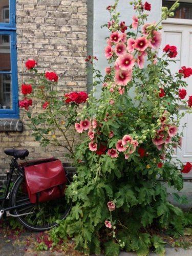 Hollyhocks and roses on Krusemyntegade.