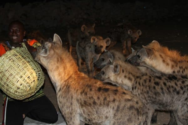 The hyenas are fed raw chicken meat by villagers.