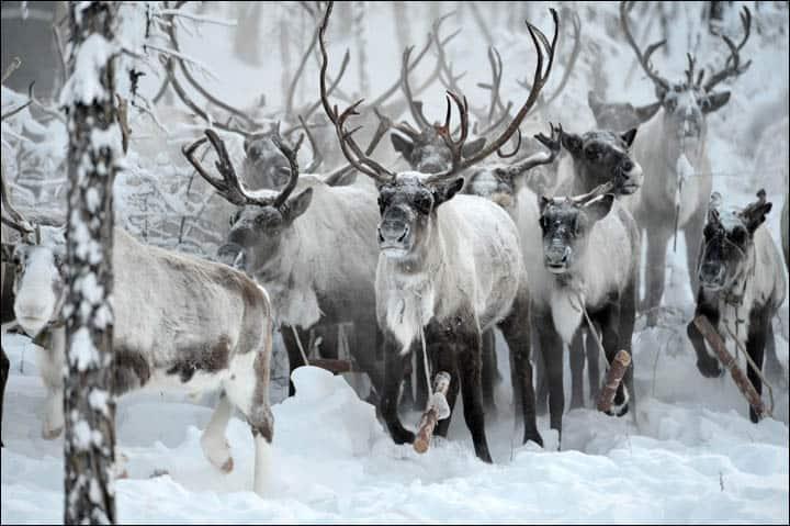 A herd of Reindeer Running.