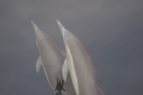 Dolphins aboard the First String whale watching boat.