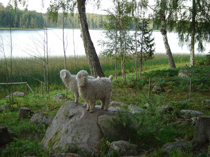 Wooly denizens near Stavsjo Lake
