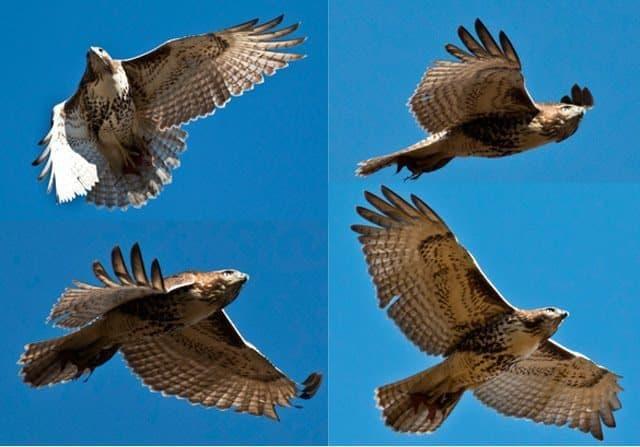 Hawk captured in flight above Manhattan's Central Park. David Mills photos.