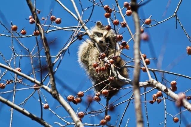 The unloved raccoon, munching on berries.