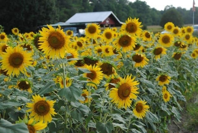 Sunflowers in oxford