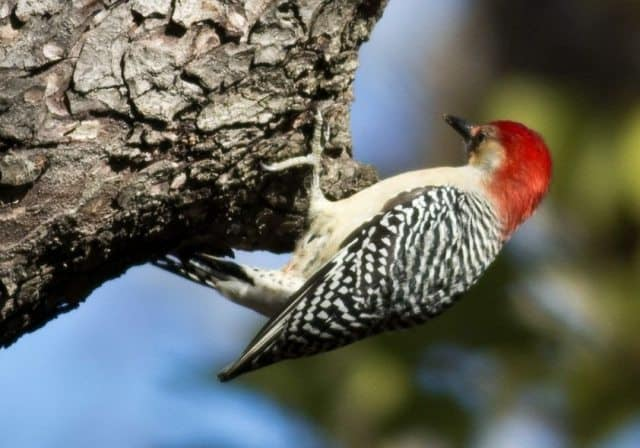 A woodpecker in New York's Central Park. Find out how many different birds you can see in David Mills' story about birdwatching in Central Park.