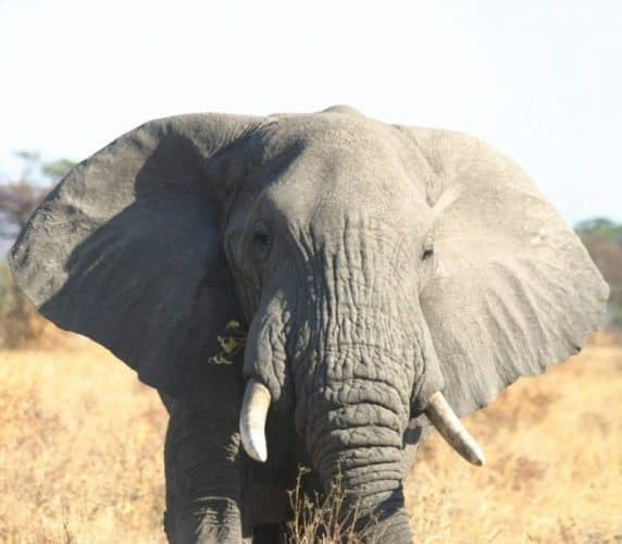 Big tusker, right out the car window.
