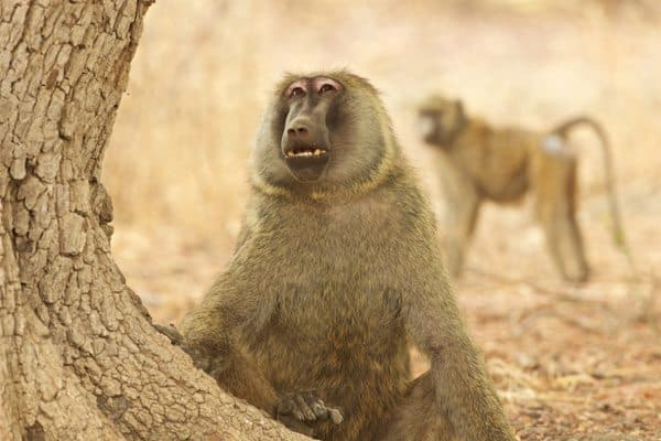 Two of Zakouma's baboons. Michael Lorentz photo.