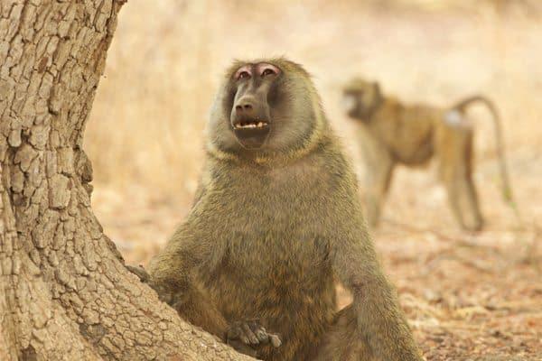 Two of Zakouma's baboons. Michael Lorentz photo.