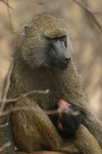 baboon_and_baby