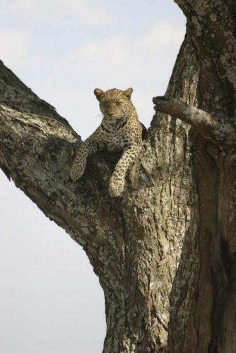 A cheetah in a tree in Nairobi National Park. James Dorsey photos.