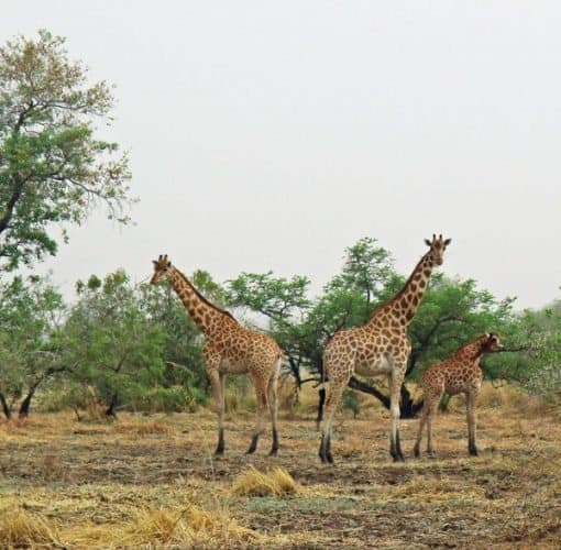 Kordofan giraffe on the savannah.