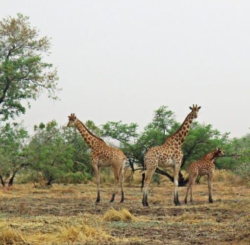 Kordofan giraffe on the savannah.