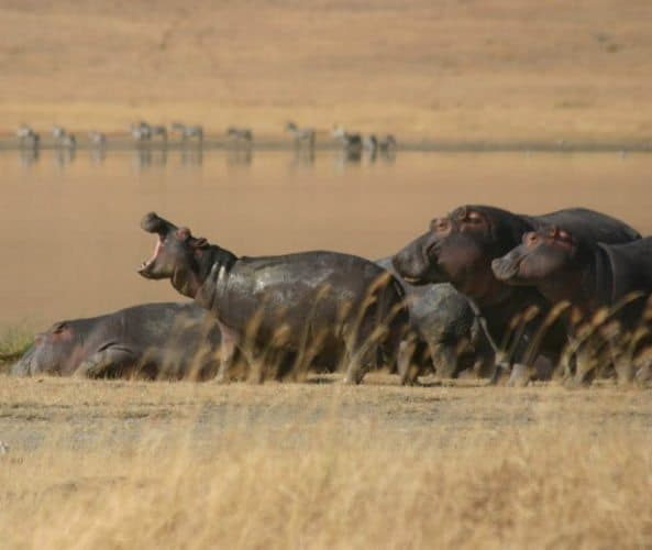 Hippos, the most dangerous animal in Africa, roam the park.