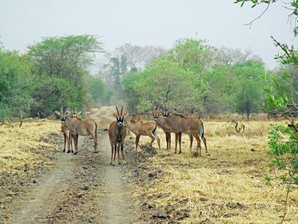 "Antelope form a ""roadblock"" in Zakouma National Park, Chad. Susan McKee photos."