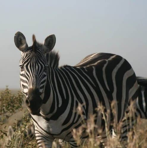 A zebra in Nairobi National Park near the city limits.