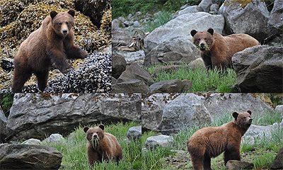 Mr. Ford, a hungry Alaskan bear.