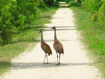 Sandhill cranes, an ancient species, amble along the trail.