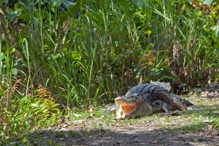 Estuarian croc in Sungei Buloh park.
