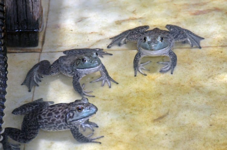 Frogs at the Jurong frog farm in Singapore.