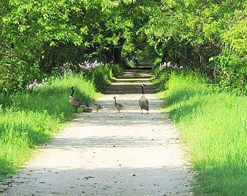 If you upset these geese, they'll have a hissing fit as you pass.