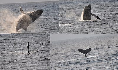 Humpback whales in Alaska. Photos by Nancy Mueller.