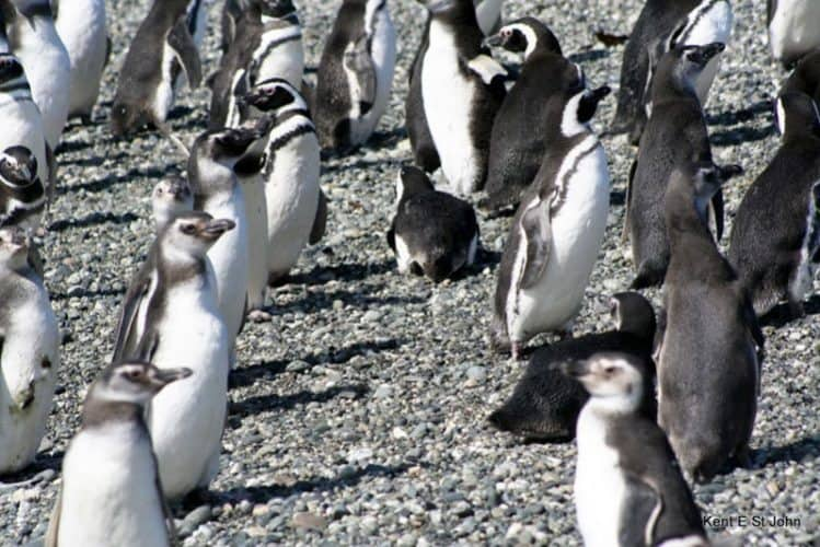 Penguins on the beach in Chile