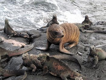 A baby sea lion with marine iguanas. photo by Ann Banks.