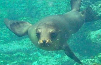 A sea lion, poised for play. Photo by Bret Love and Mary Gabbet, courtesy of GreenGlobalTravel.com.