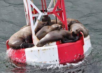 Sea lions sleeping on a buoy