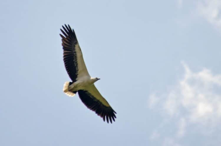 A White bellied sea eagle soars above the park in SIngapore.