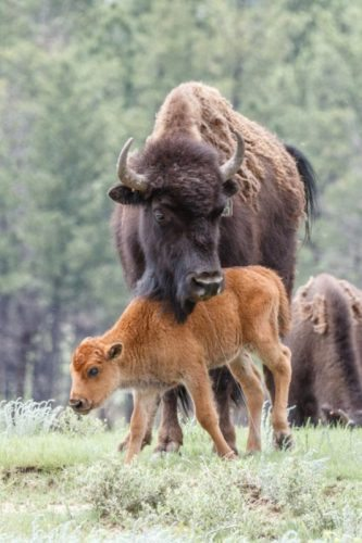 A bison and its calf at the New Mexico ranch.
