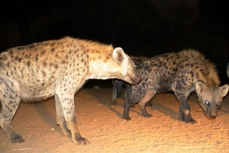 Hyenas are a common site at night in Ethiopia.