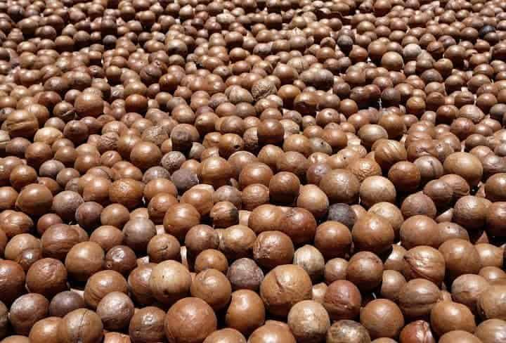 Drying macadamia nuts in the sun at Valhalla.