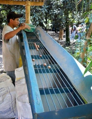 Sorting macadamia nuts by size at the farm in Guatemala.