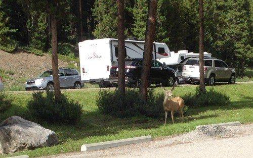 A deer up close at the edge of Maligne lake.