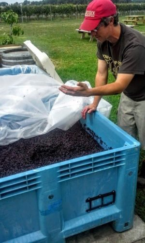 The winemaker at Hawk Haven Winery near Cape May NJ shows off the year's grapes.