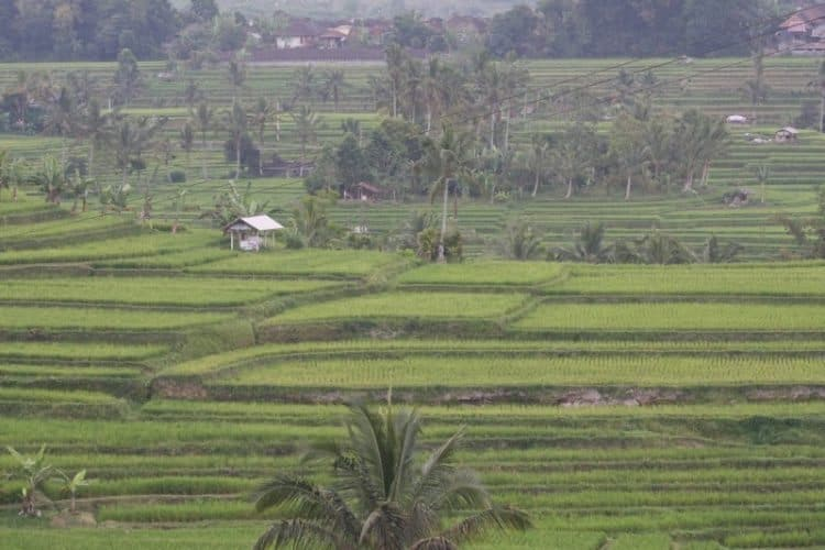 Terraced fields of rice in Bali.