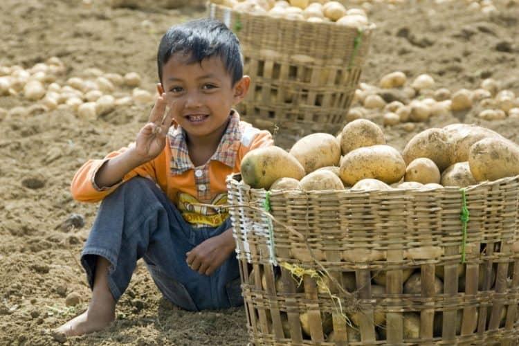 Harvesting potatoes in Java.