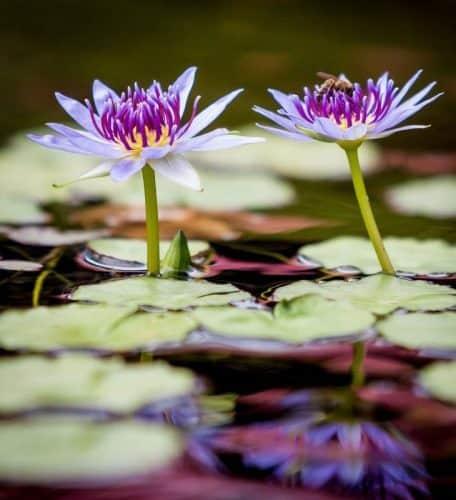 Water flowers at Golden Rock Inn, Nevis